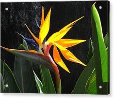 Acrylic Print featuring the photograph Bird Of Paradise by Yolanda Koh