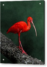 Bird On A Catwalk Acrylic Print