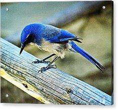 Bird On A Rail Acrylic Print by Marty Koch