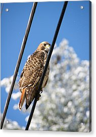 Bird On A Wire Acrylic Print by Edward Myers