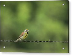 Acrylic Print featuring the photograph Bird On Barbed Wire by Scott Bean