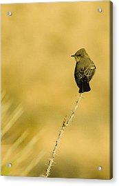 Bird On Ocotillo Acrylic Print by Clyde Replogle
