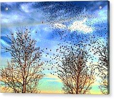 Bird Swarms Versus Hawks On The Prairie Acrylic Print