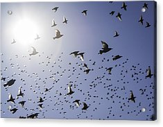 Acrylic Print featuring the photograph Birds by Lynn Geoffroy
