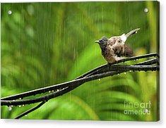 Birds Of Sri Lanka  Pycnonotus Cafer Acrylic Print by Venura Herath
