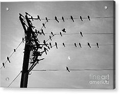 Birds On A Wire Acrylic Print by Lionel Martinez