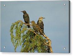 Birds-on-watch Acrylic Print by Gordon Auld