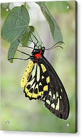 Acrylic Print featuring the photograph Birdwing Butterfly I by Dawn Currie