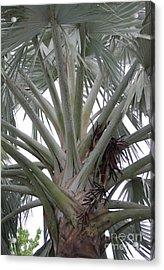 Bismark Palm Acrylic Print