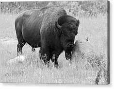Bison And Buffalo Acrylic Print