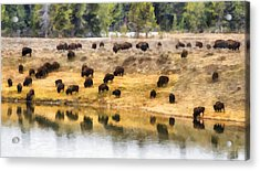 Bison At Indian Pond Acrylic Print