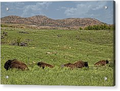 Bison At Rest Acrylic Print