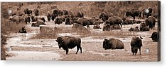 Bison At Salt Fork Arkansas River Kansas Acrylic Print