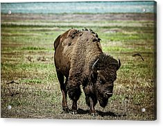 Acrylic Print featuring the photograph Bison Bird Bus by Mary Hone