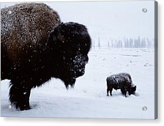 Bison Bison Bison In The Snow Acrylic Print by Joel Sartore