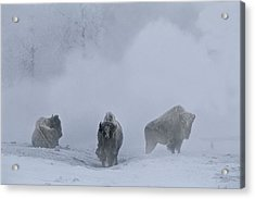 Bison Bison Bison Stand During Winter Acrylic Print by Bobby Model