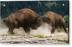 Bison Duel Acrylic Print