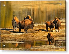 Acrylic Print featuring the photograph Bison Family Crossing by Adam Jewell