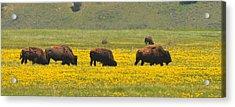 Bison Herd Acrylic Print by Alan Lenk