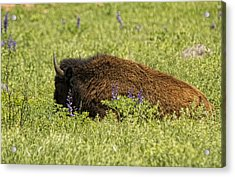 Bison In Bluebonnests Acrylic Print