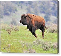 Bison In Flight Acrylic Print by John R Young Jr