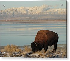 Bison In Front Of Snowy Mountains Acrylic Print
