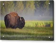 Bison In Morning Light Acrylic Print by Sandipan Biswas