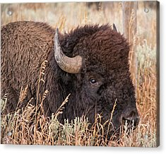 Acrylic Print featuring the photograph Bison In The Grass by Mary Hone