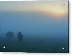 Bison In The Mist Acrylic Print