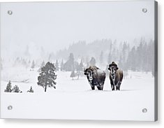 Acrylic Print featuring the photograph Bison In The Snow by Gary Lengyel