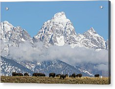 Bison In The Tetons Acrylic Print