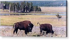 Bison In Yellowstone Acrylic Print