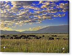 Bison On Antelope Flats Wy Acrylic Print by Vijay Sharon Govender