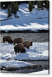 Acrylic Print featuring the photograph Bison On River Strand by Kae Cheatham