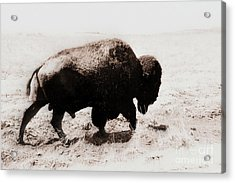 Bison On The Trail Acrylic Print by Mickey Harkins