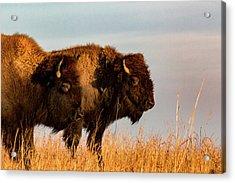 Bison Pair Acrylic Print