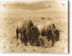 Bison Pair Acrylic Print by Patrick  Flynn