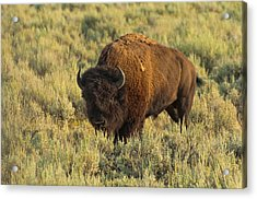 Bison Acrylic Print by Sebastian Musial