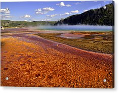 Bison Tracks In The Grand Prismatic Spring Acrylic Print by Patrick  Flynn