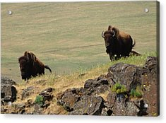 Bison Watch Acrylic Print