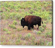 Bison1 Acrylic Print