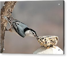 Acrylic Print featuring the photograph Bit Off More Than He Could Chew by Lara Ellis