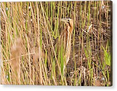 Bittern In The Reeds Acrylic Print