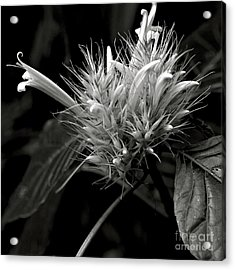 Acrylic Print featuring the photograph Bizarre Flower Charm by Silva Wischeropp