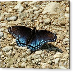 Black And Blue Monarch Butterfly Acrylic Print