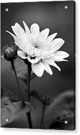 Acrylic Print featuring the photograph Black And White Coreopsis Flower by Christina Rollo