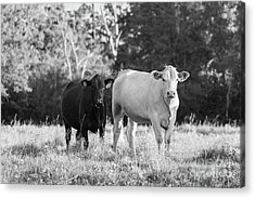 Black And White Cows Acrylic Print