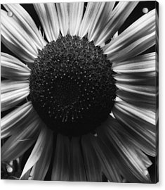 Acrylic Print featuring the photograph Black And White Flower Twelve by Kevin Blackburn