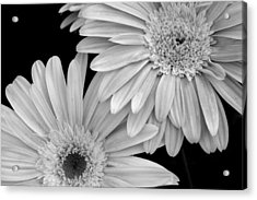 Black And White Gerbera Daisies 1 Acrylic Print by Amy Fose