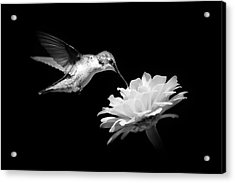 Acrylic Print featuring the photograph Black And White Hummingbird And Flower by Christina Rollo